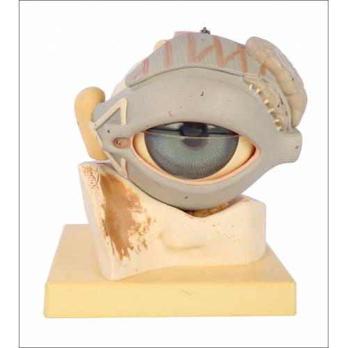 Antiguo Modelo Anatómico del Ojo Humano. Alemania, Circa 1950