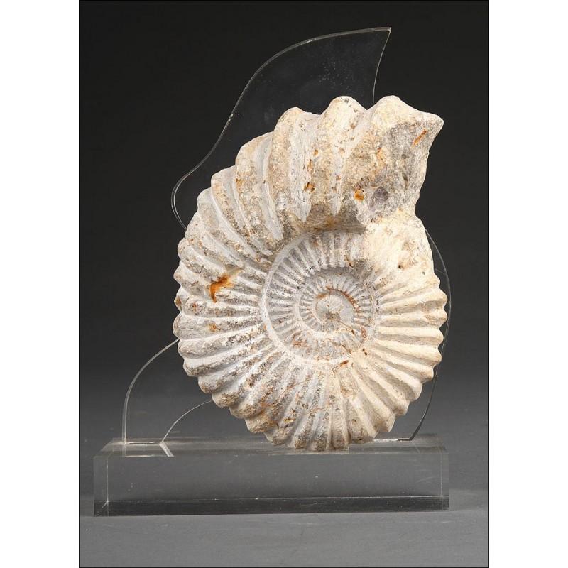 Precioso Fósil de Ammonite en Muy Buen Estado de Conservación. Con Soporte de Metacrilato